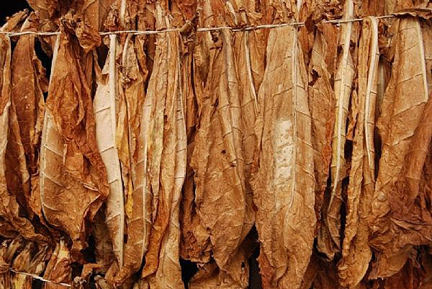 Hanging Tobacco Leaf