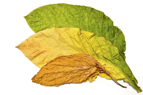 Tobacco Leaf drying